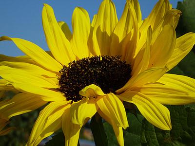 Sun flower, lilled, kollane lill