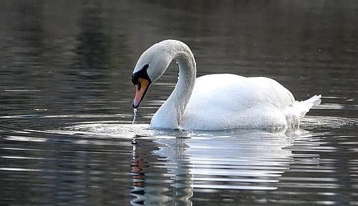 gulbis, ūdens, ezers, balta, Noble, ūdens putnu, atspoguļojot