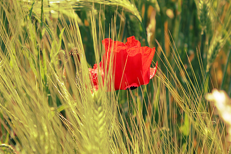 poppy, field, cornfield, cereals, red, flower, nature