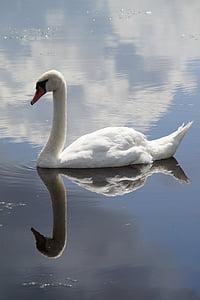 swan, mute swan, water bird, swim, mirroring, mirrored, water