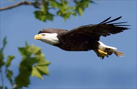 Eagle, kale, vliegen, Raptor, vogel, natuur, Wild