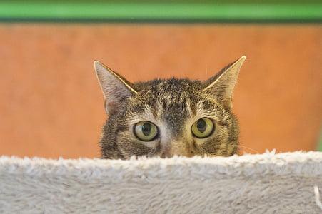 котка, Тигър котка, срамежлив котка