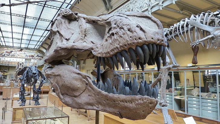 muuseum, skelett, dinosaurus, dinosaurus skelett, turuvallutusliku dinosaurused