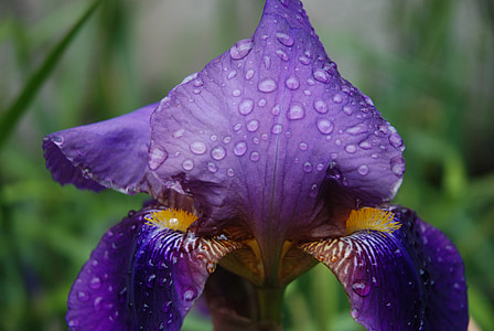 flower, iris, violet, garden, nature, spring, dew drop