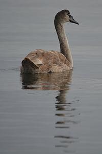 swan, nature, animal, waterfowl, animals in the wild, animal themes, one animal