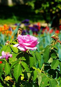 Rosa, flor rosa, Rosa, rosa Rosa, flor, flor, flor