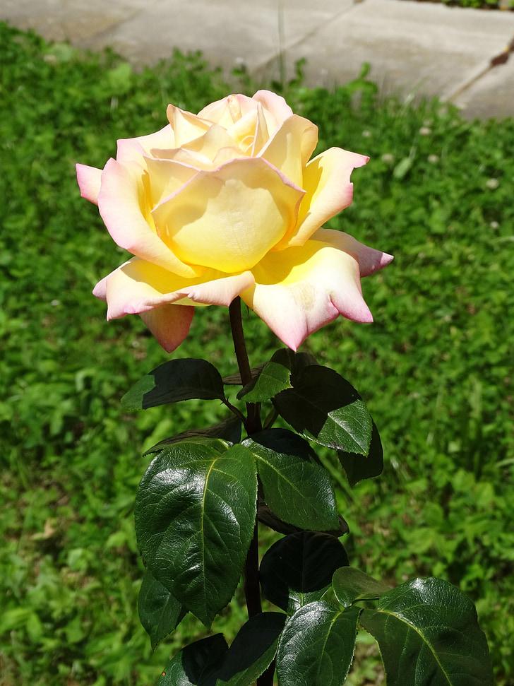 Roses, blanc, flor, flor, flors, flor rosa
