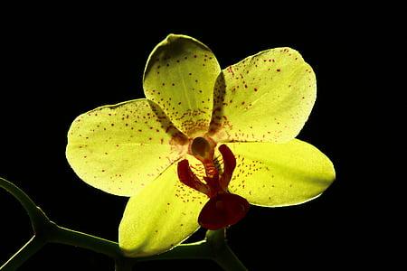 kollane orhidee, särav orhideed, lill, mõistatus, Orchid, loodus, taim