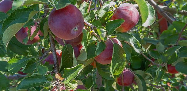 õunad, puu, Orchard, maitse, loodus, puu, toidu