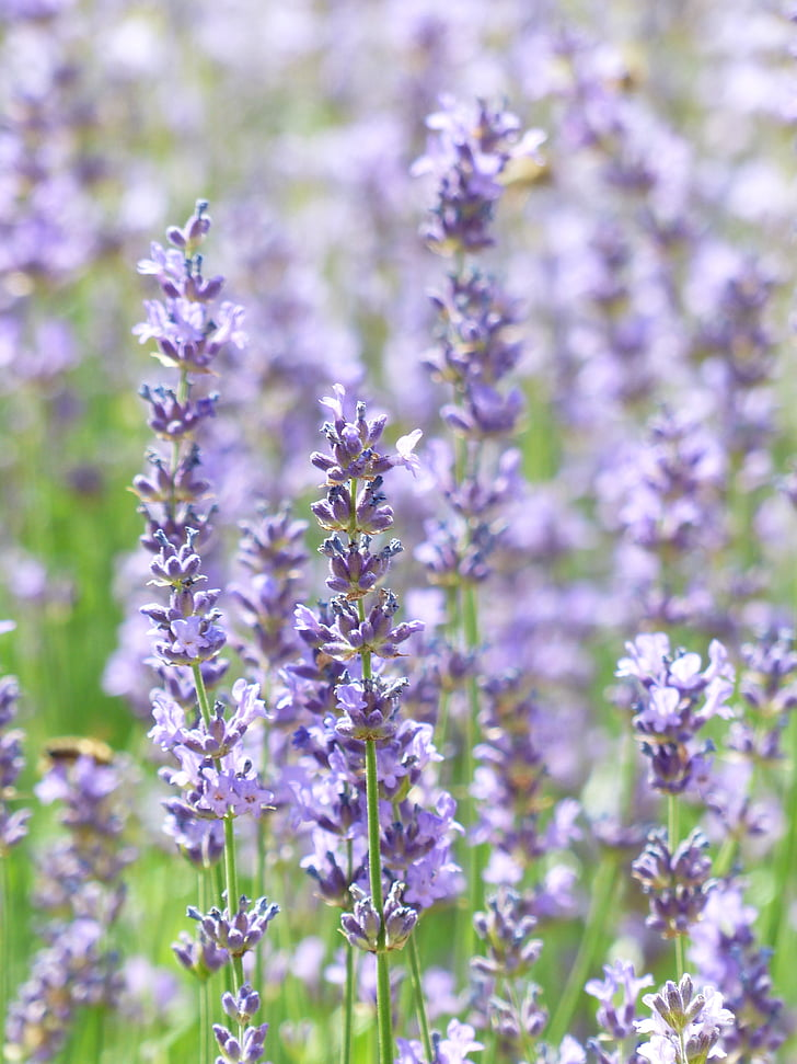 lavendel, Lavendel veld, teelt van lavendel, echte lavendel, smalle blad lavendel, Lavandula angustifolia, Lavandula officinalis