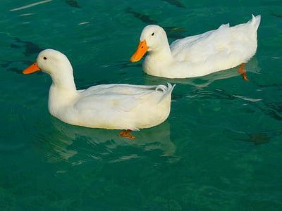2 つ, ガチョウ, 鴨, ホワイト, アヒル, 動物, 水