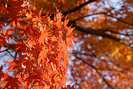 maple, japanese maple, momiji, fall, leaf, nature, japanese