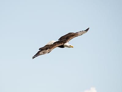 Адлер, раптор, Соколарство, птица, лети, дива птица, небе