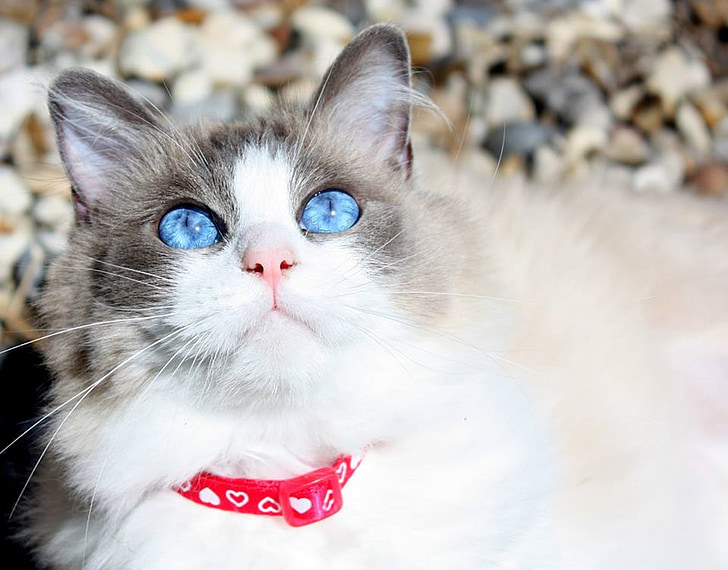 chat, chat Ragdoll, race pure, adorable, yeux, visage, Rose