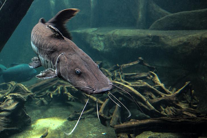 Wels, peix, peixos depredadors, animal, l'aigua, escala
