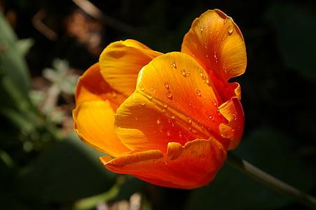 kollane kasvaja, oranž tulip, Sulgege, kevadel, lilled, Kevad flower, Flora