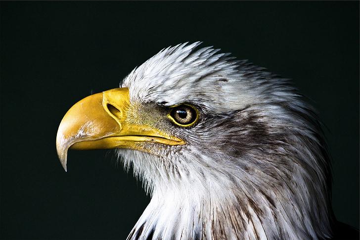 eagle, bald, bird, wildlife, portrait, head, beak