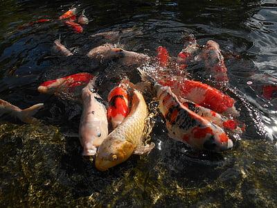 carpa, Koi, peixos d'aquari, peix, Estany, vius, Japó