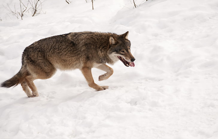 wolf, snow, animal, wildlife, wild, nature, mammal
