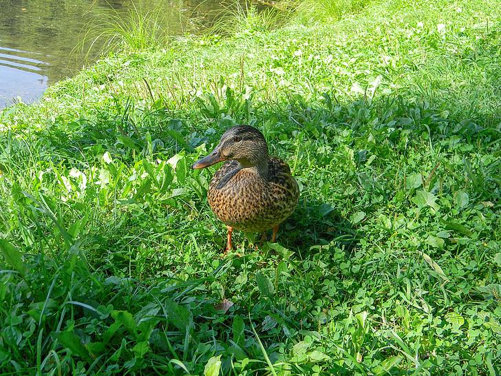 патица, птица, езеро, natatorial, вътрешен патица, околна среда, водолюбивите птици