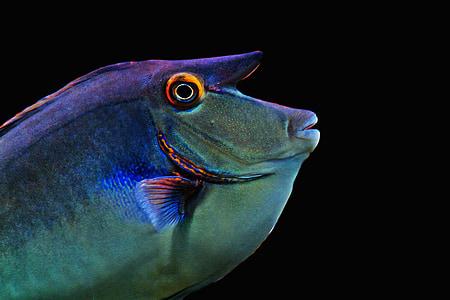 peix, exòtiques, meeresbewohner, món submarí, criatura d'aigua, Submarinisme, vida marina
