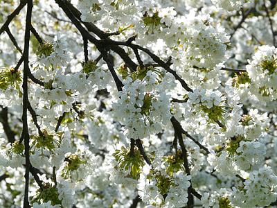 cherry blossom, cherry, blossom, bloom, white, spring, white blossom