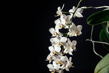 balta, ziedlapas, tumša, puķe, orhidejas, daba, melna fona