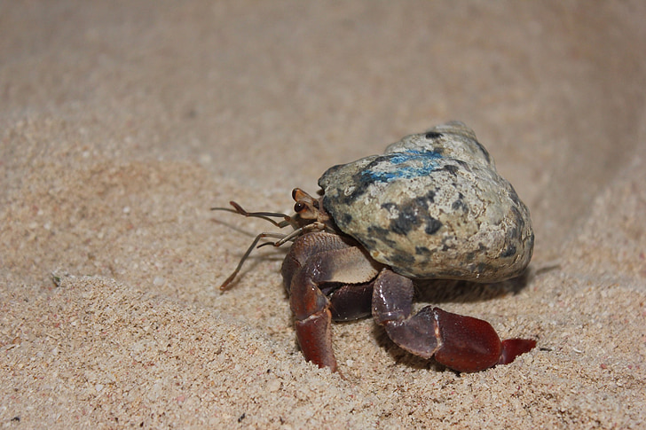 crabe, océan, animaux, Marine, coquille, crustacé, Racing