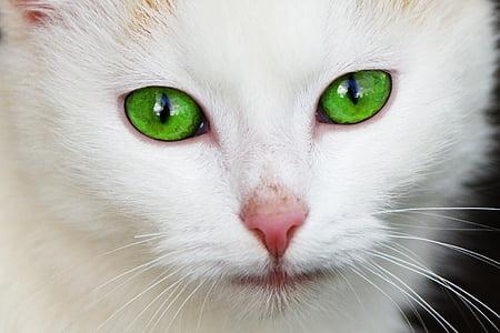 животните, котка, домашни, око, очите, лицето, котешки
