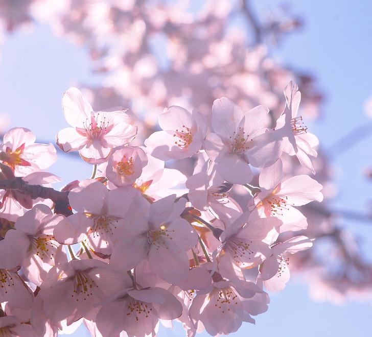 cirera, primavera, sol, pètal, demostrar a través, llum de fons, cel blau