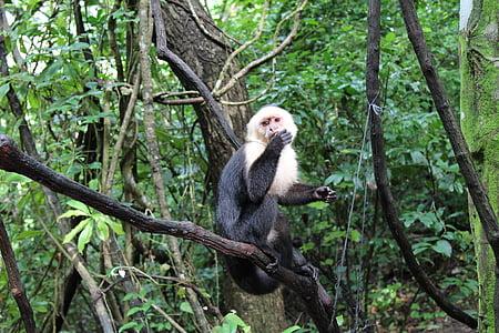micos, vida silvestre, natura, animal, mamífer, Selva, primats