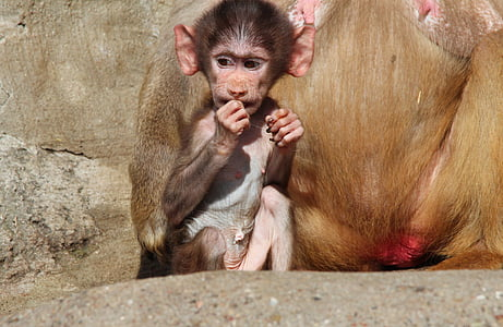 Papió, Papio papió, babuïns, Papió, mico, primats, primats