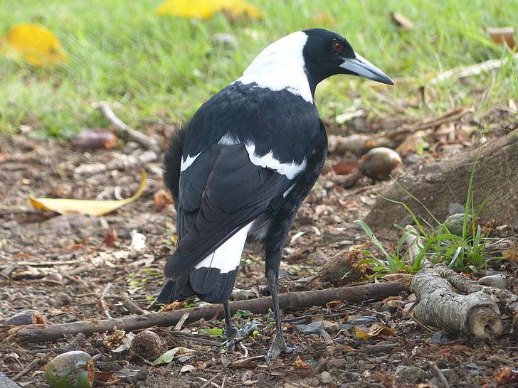 Harakka, lintu, musta, valkoinen, linnunlaulua bird, Australian bird