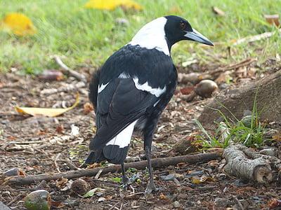 свраката, птица, Черно, бяло, пее птица, австралийската птица