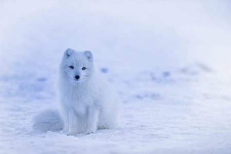 iceland, arctic fox, animal, wildlife, cute, winter, snow