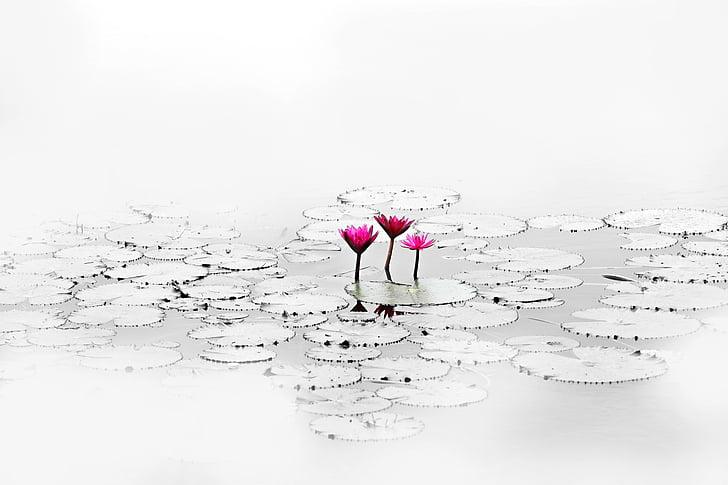 로터스, 꽃, 조용 하 고, 연못, 물 공장, 자연