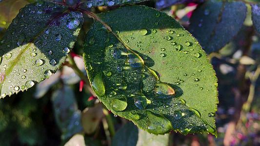 叶子, 露水, 自然, 科尔, 上升, 在上午