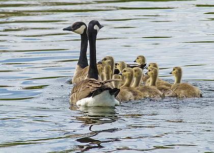 Kanadanhanhi, Poikaset, Nuorten hanhien, Luonto, Wildlife, Gosling, vauva