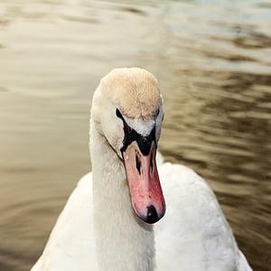Cigne, ocell, l'aigua, bec, Estany