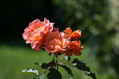 τριαντάφυλλο, σολομός, Κήπος, άνθος, άνθιση, πορτοκαλί, αυξήθηκαν οι ανθίσεις