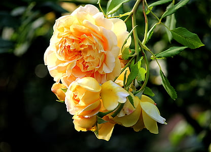 夏季, 黄玫瑰, 开花, 绽放, 玫瑰绽放