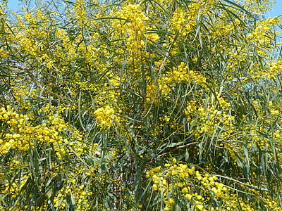 kollane, kevadel, Mimosa, õis, Bloom, õisikud, sametine