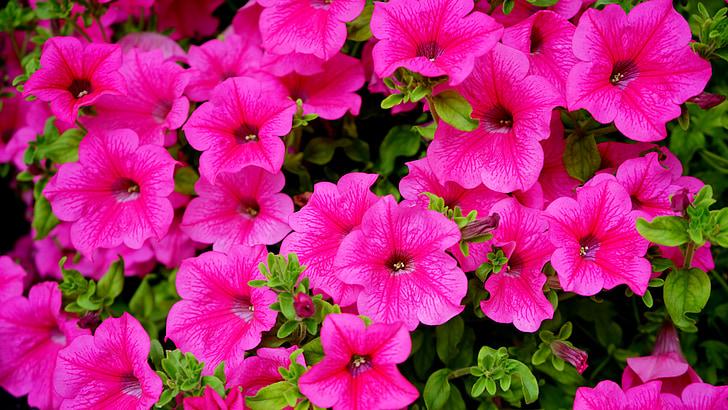ružové kvety, ružová, kvet, Príroda, Petal, rastlín, jar