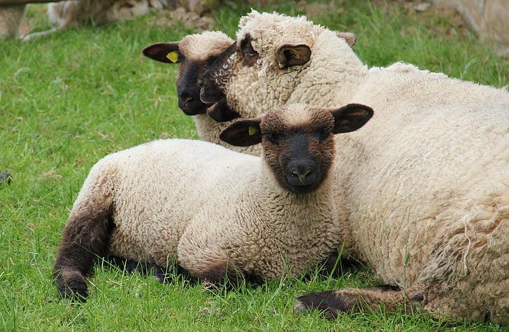 Westfalenin musta pää lampaat, karitsat, lampaat, laidun, Luonto, nuori, kevään