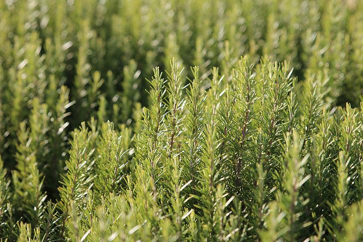 Розмари, Специи, травы, Природа, Грин, кухня, завод