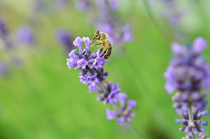 Levanda, bičių, violetinė, vabzdžių, tikrosios levandos, violetinė, nektaras
