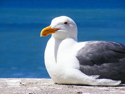 djur, Bay, fågel, mås, Ocean, Seagull, vatten