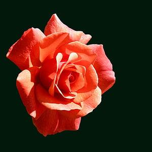 Rosa, taronja, rosa taronja, flor, flor, flor, flors roses