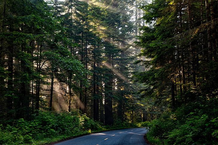 bosc, arbres, boscos, llum del sol, eix de la llum, paisatge, escèniques