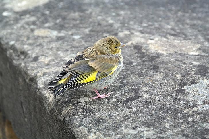 viherpeippo, lintu, Fink, Carduelis Khloriilla, Songbird, eläinten, nuorten eläinten